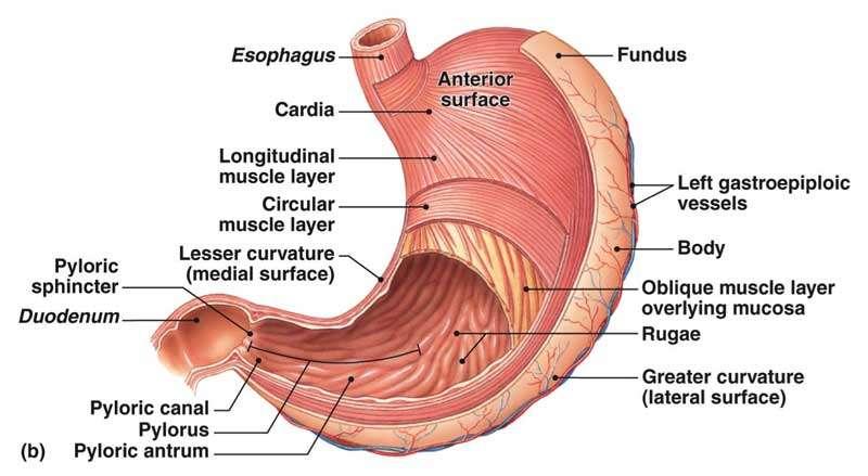 gastroscopy-diagram