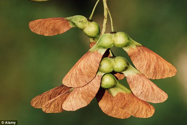 Sycamore_seeds